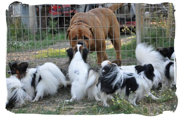 Papillons : small dogs with a big attitude